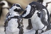African penguin (Spheniscus demersus), two individuals preening each other, Western Cape, South Africa