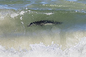African Penguin (Spheniscus demersus), adult under the water surface, Western Cape, South Africa