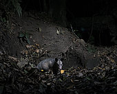 Sarigue australe (Didelphis marsupialis) photographié à l'aide d'un piège photographique, Chiapas, Mexique
