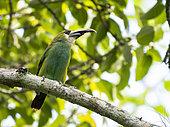 Emerald Tucaneta Aulacorhynchus prasinus with a broken beak on a tree branch inside the Cañon del Sumidero National Park, Chiapas, Mexico.