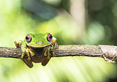 Small Eared Treefrog (Rheohyla miotympanum) posing on a branch within the Lacandon Jungle in Chiapas Mexico