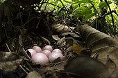 Thicket Tinamou (Crypturellus cinnamomeus) eggs in a nest on the ground, El Ocote Biosphere Reserve, Chiapas, Mexico