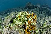 Caulerpa (Caulerpa fergusoni) on yellow-green candle sponge sponge (Aplysina insularis), in Marcel Cove, island of St. Martin, French West Indies