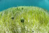 Seabed with Manatee Grass (Syringodium filiforme) and Shaving brush algae (Penicillus capitatus). Island of Saint Martin, French West Indies