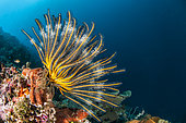 Bennett's Feather Star (Anneissia bennetti) on a drop-off in front of Siladen Island Bunaken Marine National Park, North Sulawesi, Indonesia.