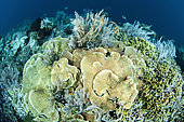 Corals on the edge of a drop-off, in front of Siladen Island, Bunaken Marine National Park, North Sulawesi, Indonesia.
