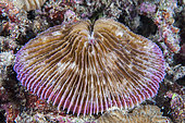 Mushroom coral (Fungia fungites), night dive, in front of Siladen Island Bunaken Marine National Park, North Sulawesi, Indonesia.