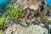 Brown-lipped sea krait (Laticauda laticaudata), in front of Siladen Island Bunaken Marine National Park, North Sulawesi, Indonesia