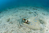 Blue-spotted skate (Neotrygon sp), Siladen Island, Bunaken Marine National Park, Northern Sulawesi, Indonesia.