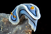Bouchet's Chromodoris (Chromodoris boucheti), Siladen Island, Bunaken Marine National Park, North Sulawesi, Indonesia.