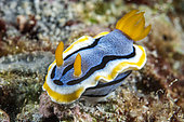 Elisabeth's Chromodoris (Chromodoris elisabethina), Siladen Island, Bunaken Marine National Park, North Sulawesi, Indonesia.