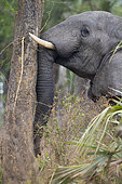 African Elephant (Loxodonta africana) pushing trunk against palm tree to knock dates down to eat off the ground, Gorongosa National Park, Mozambique.