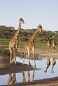 Masai giraffe (Giraffa camelopardalis tippelskirchii) drinking at river, Ndutu, Ngorongoro Conservation Area, southern Serengeti, Tanzania.