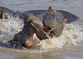 Hippopotamus (Hippopotamus amphibius) play-fighting, Serengeti National Park, Tanzania.