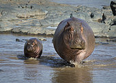 Hippopotamus (Hippopotamus amphibius) mother and young, Serengeti National Park, Tanzania.