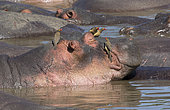 Hippopotamus (Hippopotamus amphibius) with Red-billed Oxpeckers (Buphagus erythrorhynchus), Serengeti National Park, Tanzania.
