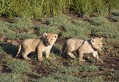 African Lion (Panthera leo) young, Ndutu, Ngorongoro Conservation Area, southern Serengeti, Tanzania.