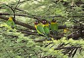 Yellow-collared lovebird or Masked lovebird (Agapornis personatus) Tarangire National Park, Tanzania.