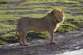 African Lion (Panthera leo) male, Ndutu, Ngorongoro Conservation Area, southern Serengeti, Tanzania.