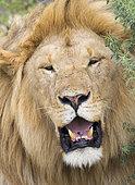 African Lion (Panthera leo) male panting, Ndutu, Ngorongoro Conservation Area, southern Serengeti, Tanzania.