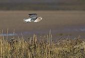 Eurasian Curlew (Numenius arquata) calling in flight, North Norfolk, UK. November