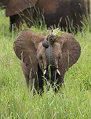 African Elephant (Loxodonta africana) young feeding, Tarangire National Park, Tanzania.