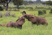African Elephant (Loxodonta africana) young playing, Tarangire National Park, Tanzania.