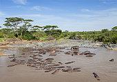 Hippopotamus (Hippopotamus amphibius) large group, Serengeti National Park, Tanzania.
