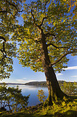 English Oak (Quercus robur) and Lake Windermere in autumn, Lake District, Cumbria, UK. October
