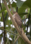 Little Sparrowhawk (Accipiter minullus) Arusha, Tanzania. Smallest Accipter in the world.