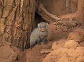 Banded Mongoose (Mungos mungo) young, Tarangire National Park, Tanzania.