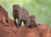 Banded Mongoose (Mungos mungo) Tarangire National Park, Tanzania.