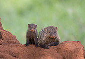 Banded Mongoose (Mungos mungo) adult and young, Tarangire National Park, Tanzania.