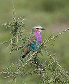 Coracias caudatus Ndutu, Ngorongoro Conservation Area, southern Serengeti, Tanzania.