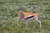 Thomson's Gazelle (Eudorcas thomsonii) Ndutu, Ngorongoro Conservation Area, southern Serengeti, Tanzania.