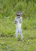 Vervet monkey (Chlorocebus aethiops) Ndutu, Ngorongoro Conservation Area, southern Serengeti, Tanzania.