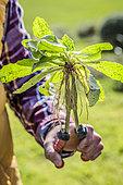 Jardinier tenant une pince à désherber : pince à long bec courbé pour plantes à racines pivotantes comme le pissenlit et les endroits peu accessibles.