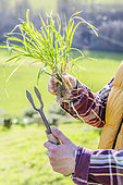 Gardener holding a two-toothed mini-fork, a tool used for weeding plants with fasciculate roots such as grasses and other clumps.
