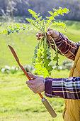 Jardinier tenant une gouge : pour plantes à racines pivotantes comme le pissenlit.