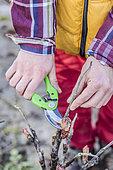 Jardinier taillant une pivoine arbustive au printemps : on retire les parties de tiges non pourvues de bourgeons.