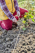 Step-by-step planting of ground cover: positioning of a marker line
