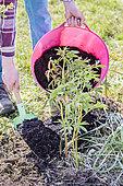 Jardinier apportant du compost à une touffe de pivoines, au printemps.