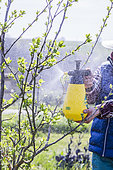Gardener applying a hand spray treatment to a plum tree at the bud-break stage in March.