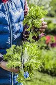 Harvest of Chicory escarole (Cichorium endivia var. latifolium) in winter in the vegetable garden.