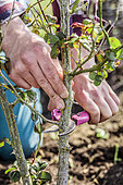 Regeneration pruning of a dusty rose of the 'Pierre de Ronsard' variety, step by step, at the end of winter. Second step: severe cutting of old stems.