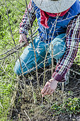 Ggardener removing last year's asparagus stems to make way for young shoots.