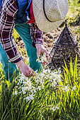 Gardener removing the wilted flowers of Narcissus (Narcissus triandrus) 'Thalia' in March.