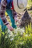 Jardinier retirant les fleurs fanées de Narcisse (Narcissus triandrus) 'Thalia' en mars