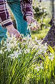 Jardinier retirant les fleurs fanées de narcisse 'Thalia' en mars