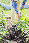 Man stumbling over a row of potatoes in spring.